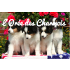 Pack chiot - grande race