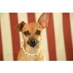 collier strass pour chien