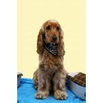 collier breton chien