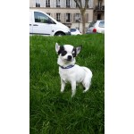 chien-chihuahua-collier-football-france-supporter