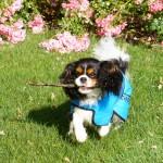 veste rafraichissante chien
