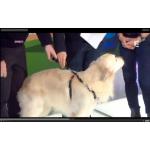 Harnais sécurité auto chien