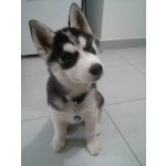 médaille pour chien husky