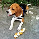 Médaille pour chien personnalisée Beagle